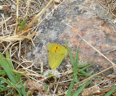 clouded-yellow-small.jpg