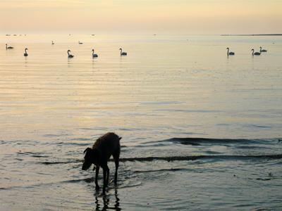 golden-swans.jpg