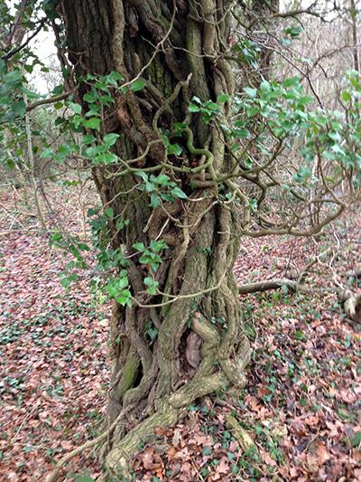 a ivy tree