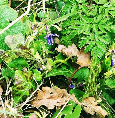 clipst violets