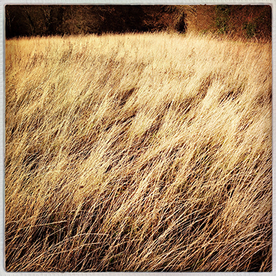 1goldengrass