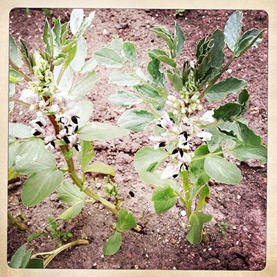 bbeanflowers