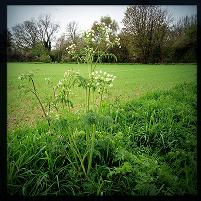 bcowparsley