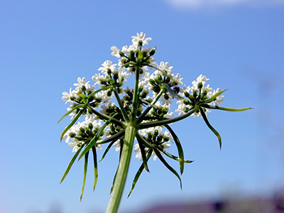 foolsparsleyflower
