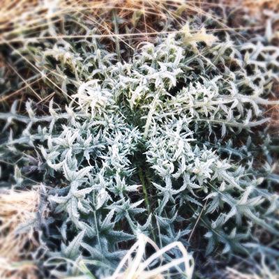 frostthistlecrown