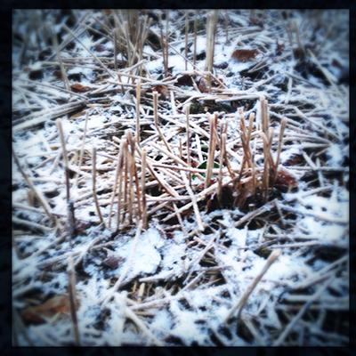 frozenstubblestalks