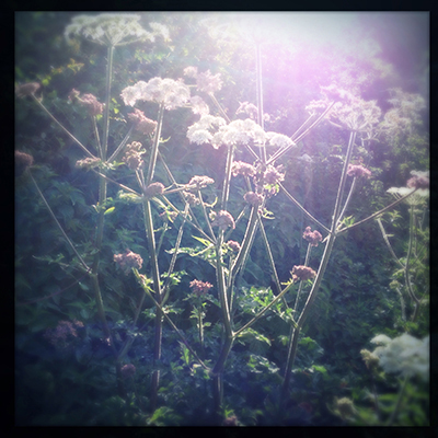 morning hogweed