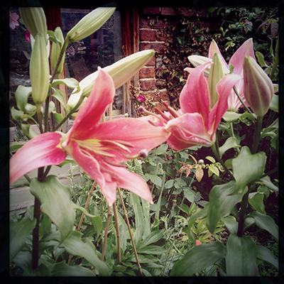 lilybeaks