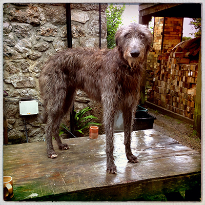 1deerhoundontable