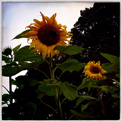 1sunflowers