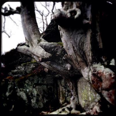 beech tree Dunkeld