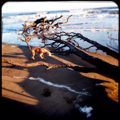 tree tentsmuir beach