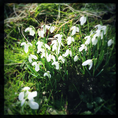 my snowdrops last year